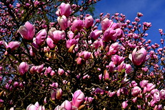 DSCF0242a_jnowak64 (jnowak64) Tags: poland polska malopolska cracow krakow krakoff ogródbotanicznyuj wiosna aura natura przyroda kwiaty magnolia mik