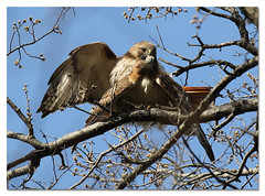 The Mating Game (Redtail10025) Tags: redtailedhawk hawks pair male female mating central park nyc wildlife nature raptors spring