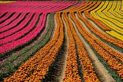 Fields of tulips France_8773 (ichauvel) Tags: champsdetulipes fieldsoftulips rangées graphisme graphism beautédelanature beautyofnature multicolore tulipes tulips fleurs flowers avril april printemps spring lurs villagedelurs alpesdehauteprovence provencealpescôtedazur france europe westerneurope getty