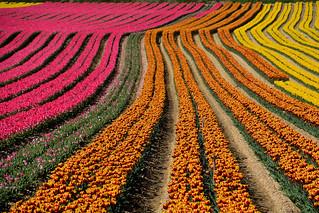 Fields of tulips France_8773