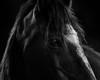 point-reyes-morgan-horse-honcho-cardelucci (Jessica Cardelucci) Tags: point reyes black white photograph art print seashore national park california horse equine portrait morgan