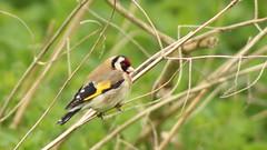 Goldfinch, 230418,  (10) f (alanblunden) Tags: wildbird riverwitham bird alongtheriver wildlife grantham wild spring goldfinch river spring2018 april2018 april