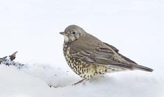 Mistle Thrush (J J McHale) Tags: mistlethrush turdusviscivorus bird snow winter scotland nature wildlife highlands