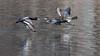 ChasingHens (jmishefske) Tags: 2018 water d850 foxriver nikon march ringnecked hen wisconsin drake scaup lesser flight waukesha bif duck