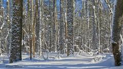 Snowy Woodland (Bob the Birdman and All Around Nature Guy) Tags: snowywoodland tughillplateau robertmiesner bobthebirdman tughill tughillstateforest woodland forest winter snow cold landscape nature