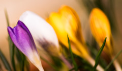 76/365 - Floral blur (EYeardley) Tags: floral crocus spring blowinginthewind floralblur bokeh abstract 365 day76 365challenge flowers