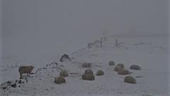 Sheeps (_J @BRX) Tags: longwood huddersfield kirklees yorkshire england uk march 2018 colnevalley winter nikon d5100 snow mist fog field sheep grey white