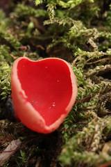 Scarlet Elfcup - Sarcoscypha austriaca (Björn S...) Tags: sarcoscyphaaustriaca scarletelfcup pézizeécarlate scharlachroterkelchbecherling österreichischerprachtbecherling blutroterkelchbecherling blutroterprachtbecherling österreichischerkelchbecherling zinnoberroterprachtbecherling mushroom pilz fungo champignon hongo