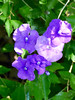 Brunsfelsia (M.P.N.texan) Tags: plant shrub brunsfelsia flower flowers flowering bloom blooms blooming houston texas purple