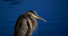 Great Blue Heron (bizzyb0ne247) Tags: great blue heron bird nature wildlife