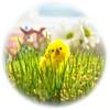 "1-easter-chicken-P3230025-LR6 (John ""Igor S."" Moffitt) Tags: canon cl 8120mm cine lens easter chicken wheat"