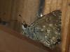 Carcharodus alceae - Mallow skipper - Толстоголовка большая мальвовая (Cossus) Tags: carcharodus hesperiidae pyrginae 2011 иловля толстоголовка skipper