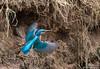 Alcedo atthis ©Arne Flemke (Arne Flemke-Gezeiten Photography) Tags: bremen kingfisher eisvogel wümme wümmewiesen blockland