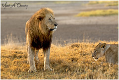 King of the Lake! (MAC's Wild Pixels) Tags: kingofthelake lion malelion lionking kinglion animal mammal wildlife africanlion wildlifephotography lionpride lioness carinvore predator hunter outdoors safari gamedrive outofafrica sunrise goldenhour goldenlight lakenakurunationalpark greatriftvalley kenya macswildpixels alittlebeauty coth coth5 ngc npc