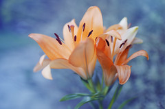 Lily (Tammy Alba) Tags: nature naturephotography photography orange flower blue bokeh macro closeup blossom blooming spring lily lilies nopeople pinnaclephotography
