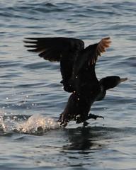 Cormorant (Phalacrocorax Brasilianus) (HockeyholicAZ) Tags: beach playa sand sunset landscape relax ocean bird pajaro ave costarica nicoya guanacaste tico seca azucar sugarcane hermosa tamarindo coco liberia