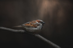 Sparrow In Light (Dustin Graffa) Tags: animals birds sparrow housesparrow house backyard yard yardbirds nature wildlife wildlifephotography naturephotography photoshop cool cool2 uncool cool3 cool4 cool5 cool6 uncool2 cool7 iceboxcool