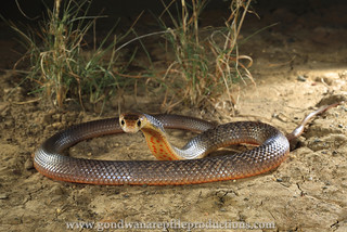 portrait: Eastern Brown Snake