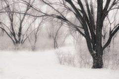 Winter trees (Bo Dudas) Tags: winter snowstorm trees forest woods white bw snow branches fog outdoors