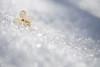 Fleur de printemps... (Nicole Barge) Tags: fleur fleurséchée flower driedflower hydrangéepaniculata garden jardin neige snow spring printemps printempsquébécois 2018 bleunature nicolebarge