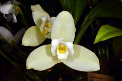 Lycaste skinneri 'Alba' (Nurelias) Tags: beautiful color colorful d7100 nikon fleur flora flore flores flower flowers forest macro makro orchid orchidaceae orchidales orchidee orchideen orchids orquidea photography rainforest tropical exhibition international dresden