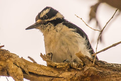 Home Visitor - Hairy Woodpecker (phicks172) Tags: homevisitorhairywoodpecker dsc2804edited1 nature birds hairywoodpecker unitedstates newmexico socorro