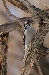 Downy Woodpecker (janelle.streed) Tags: woodpecker birds animals wildlife nature outdoors minnesota spring downywoodpecker picoidespubescens