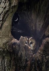 Tawny-owl_8636 (Peter Warne-Epping Forest) Tags: strixaluco tawnyowl eppingforest birds raptor peterwarne essex birdofprey owls