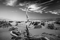 Death Valley Calif (michaelwalker19) Tags: mesquitesandunes deathvalley deserttree blackandwhitedeathvalley