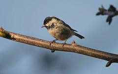 Coal tit (Ratsiola) Tags: birds tits nature natural world environment wildlife blue feathers
