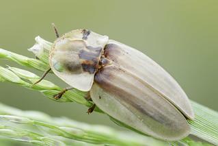 Lampyridae (Vagalume)