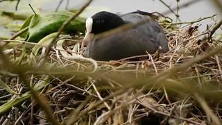 P1130842 foulque macroule 01 (nid) -Grouchy