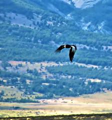 Condor Soaring in Patagonia (jillrowlandwv) Tags: bird birds condor patagonia chile outdoors wildlife nature natural naturalbeauty canon canonaddicts canonphotography canonphoto canonphotos fun hiking
