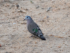 Emerald-spotted Wood Dove (jdf_92) Tags: southafrica safari bird dove emeraldspottedwooddove turturchalcospilos limpopo limpopoprovince africa
