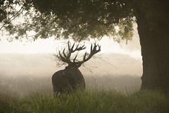 Gone With The Wind (abnormally average) Tags: wildlife nature stag deer reddeer morning sunrise rack beautiful animal magical creature antler abnormallyaverage