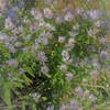 Soft as Smoke (Insearchoflight) Tags: ls floraandfauna lilies britishlilies waynenorman insearchoflight stjohnsnl flowers