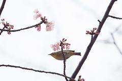 _3188172.jpg (plasticskin2001) Tags: mejiro sakura bird flower