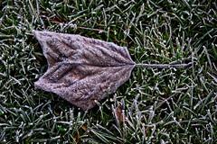 Frost (MrBlueSky*) Tags: leaf grass frost frozen nature outdoor colour kewgardens royalbotanicgardens london pentax pentaxart pentaxlife pentaxk1 pentaxawards pentaxflickraward aficionados