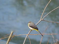 P3180018 (turbok) Tags: gebirgsstelzemotacillacinerea tiere vögel wildtiere c kurt krimberger