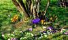 Le printemps est dans le pré. (Diegojack) Tags: gollion vaud suisse d7200 printemps fleurs crocus primevères parterre