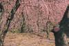 城南宮|京都 (KaguraYanki) Tags: canon650d 京都 城南宮 梅花 梅花雨 梅 枝垂梅 しだれ梅 椿まつり 花見 photography 源氏物語 花之庭