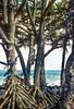 Pandanus tectorius (Prop Roots) - Maui Hawaii (photographyguy) Tags: pandanustectorius proproot plant pacificocean hawaii maui tree ocean pacific beach waves rocks