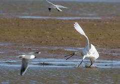 DSC_3484 (Adrian Royle) Tags: lincolnshire framptonmarsh rspb nature wildlife bird heron spoonbill nikon