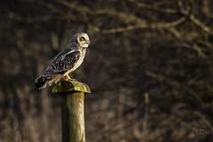 Shortie (andy_harris62) Tags: shortie shortearedowl owl birdofprey animal nature wildlife