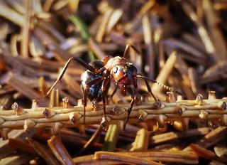 Wood Ant Eyes..x