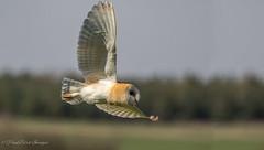Norfolk Barn Owl (budgiepaulbird) Tags: barnowls norfolk canon7dmark2 100400mark2 hunting owl birdsofprey