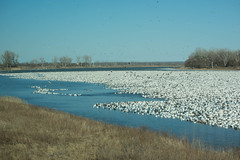 white snow geese (7KSDUNSAF4GRDDWD5UGAUW6IOF) Tags: animal bird birds blue county feather flight flock fly flying fowl geese goose migrating migration migratory nature outdoor outdoors sky snow spring thousands usa water waterfowl white wild wildlife wing winter