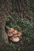 Family Portrait (Kathy Froilan | wandering.in.the.woods) Tags: mushroom tree ivy forest fungi bark brown green nature growing woods summer autumn canonef100mmf28lmacroisusm canoneos5dmarkii tcf unanimous easternkentucky
