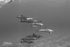At their level (bodiver) Tags: hawaii hookena wideangle ambientlight fins freediving apnea blackwhite dolphins naia