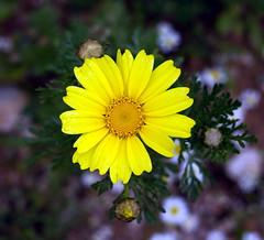 PI_IGP0912 (Vasiman) Tags: yellow flower pentaxk10d tessar czj jena closeup carlzeissjena